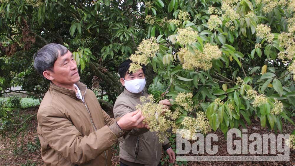 Lục Ngạn: Tập trung phòng trừ sâu đục quả trên cây vải thiều