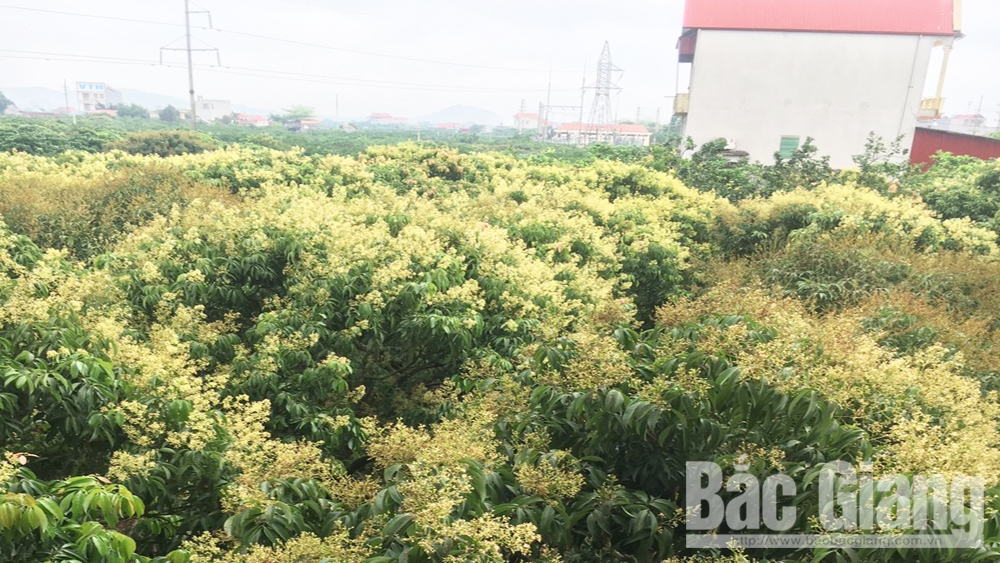 Bac Giang: 103 ha of lychee obtain cultivation area code to export to Japan