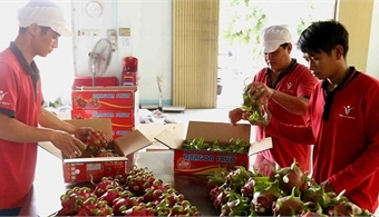 Vietnam's red flesh dragon fruits favoured at Australian market