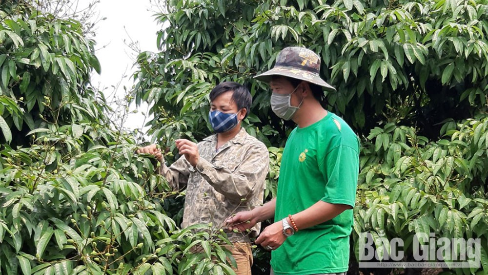 Bac Giang focuses on making lychee national product
