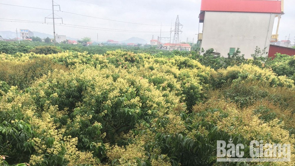 Bac Giang province, national product, lychee cultivation, further drastic measures,  Criteria of scale and value,  new and advanced technology, high quality product, growing area code for export