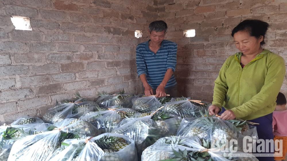 Lục Nam: Được mùa dứa, giá tăng