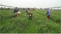 Mô hình rau hữu cơ sạch tới mức có thể ăn ngay tại ruộng