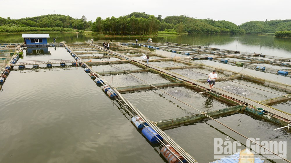 King of the fish, Ngac Hai lake, Bac Giang province, Truong Viet Chien, fish farm, tourism attraction, domestic and export market,
