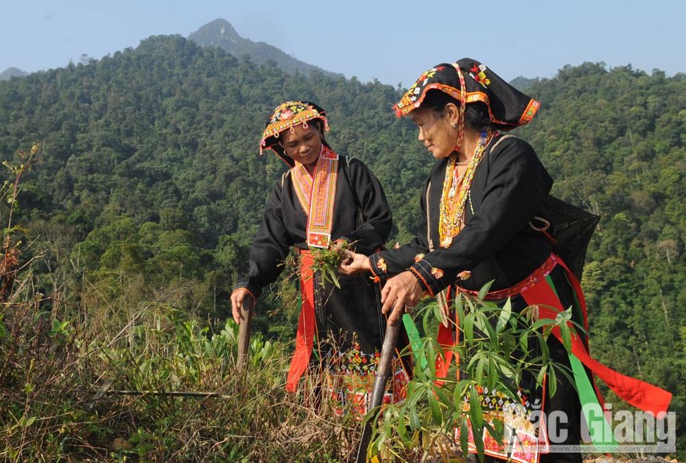 Người Dao, thị trấn Tây Yên Tử trồng cây dược liệu làm thuốc.