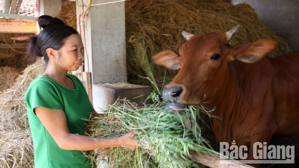 Cow bank, meaningful livelihood gift, Bac Giang province, the poor, Vietnam Red Cross Society, disadvantaged households, considerable contribution