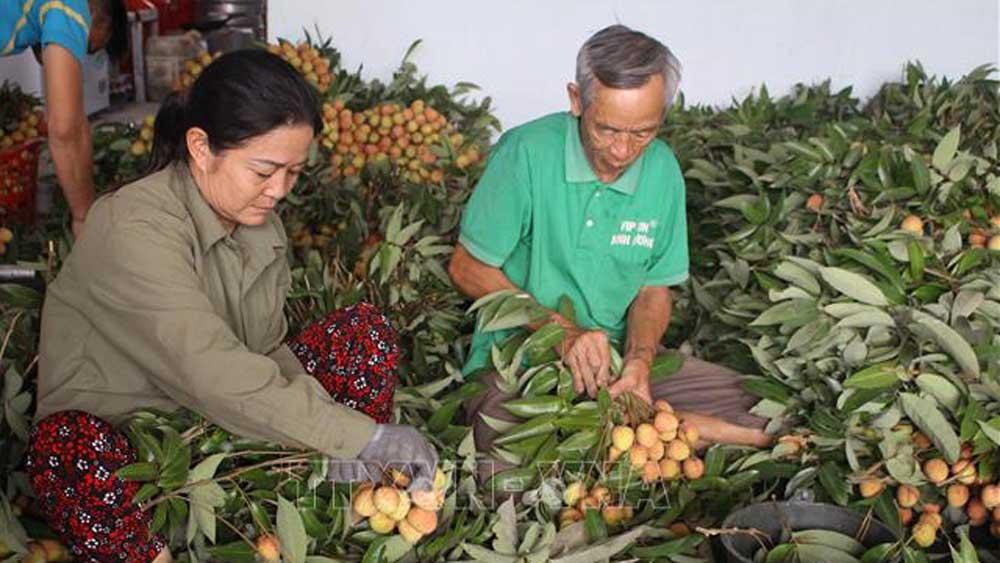 Thu hoạch vải tại xã Phúc Hòa, huyện Tân Yên (Bắc Giang).