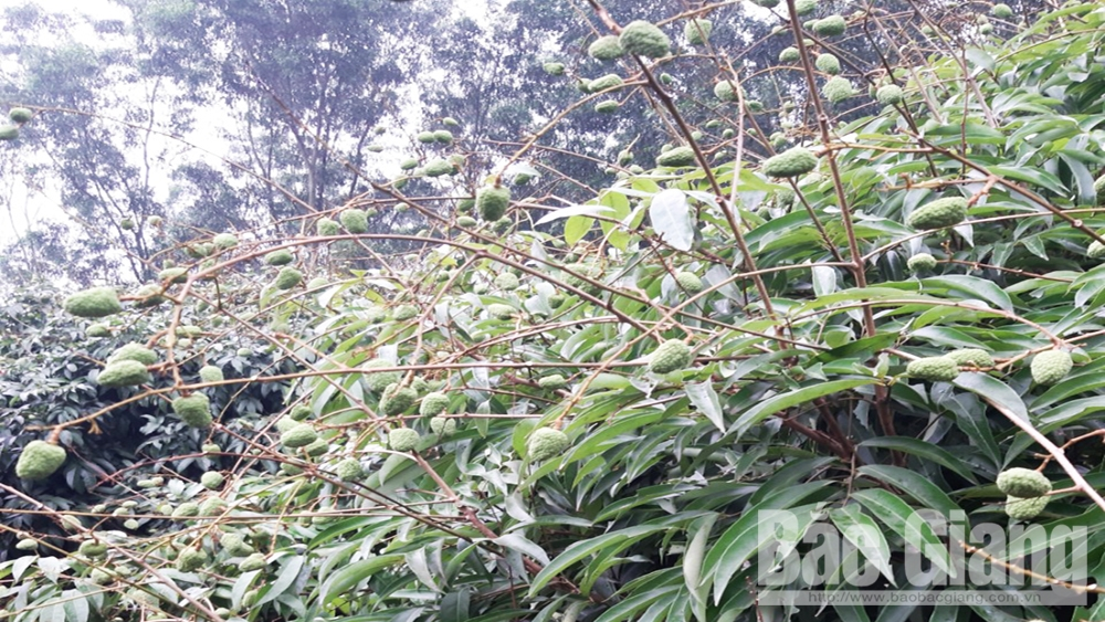 Bac Giang estimates to harvest 45,000 tonnes of early ripen lychee
