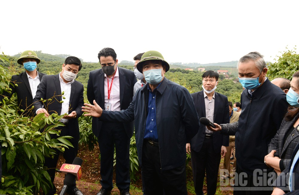 MARD Minister, Bac Giang province, safe livestock recovery, lychee export, field inspection,  agricultural commodity production, popular products, hill-grazed chicken, Covid-19 prevention and control, livestock recovery