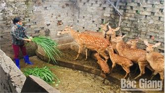 Thu nhập cao từ nuôi hươu lấy nhung