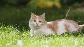 Pháp ghi nhận trường hợp đầu tiên mèo dương tính với Covid-19