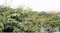 Ký hợp đồng bao tiêu hơn 100 tấn vải thiều cho nông dân