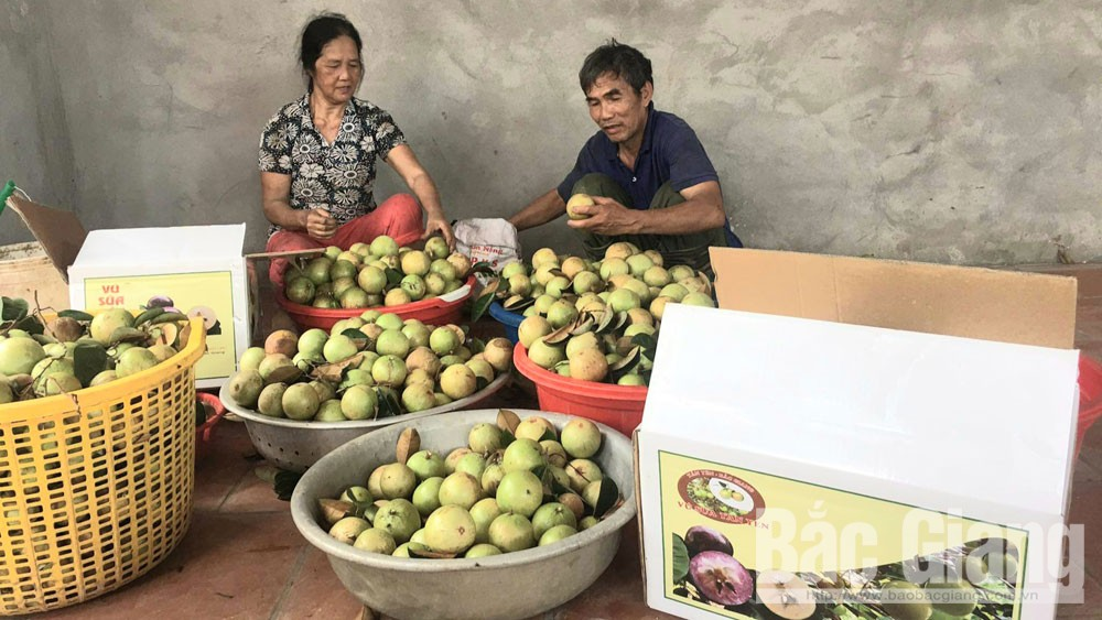 Hop Duc star apple fruit enjoys good selling price with limited source of supply