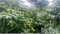 Ký hợp đồng bao tiêu 30 tấn vải sớm Phúc Hòa (Tân Yên)