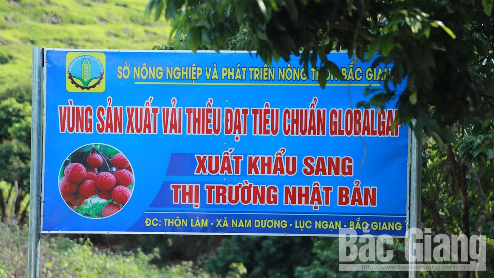 MoIT, remote inspection, export of lychee to Japan, Bac Giang province, fresh lychee, Covid-19 pandemic, 2020 lychee harvest, disinfection facilities, domestic market
