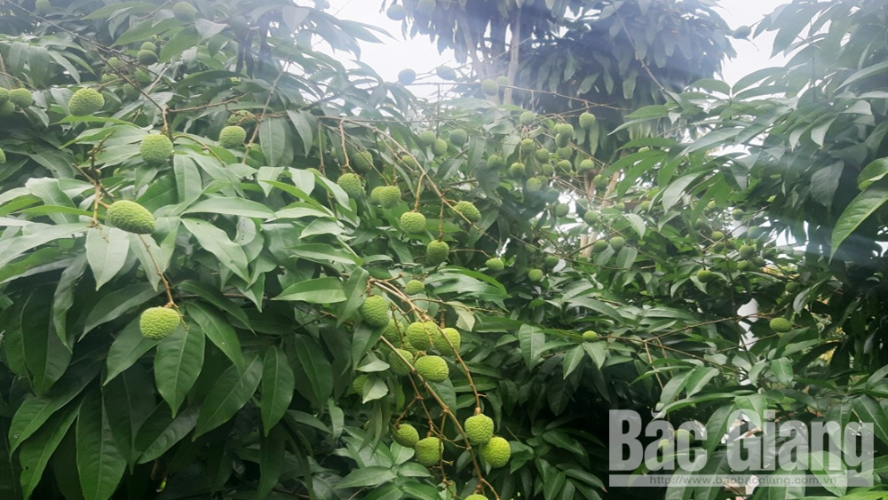 Contract inked to consume Phuc Hoa early ripen lychee