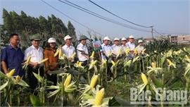 Lạng Giang: Ngô đường lai F1 MIN5 cho năng suất ước đạt 5 tạ/sào