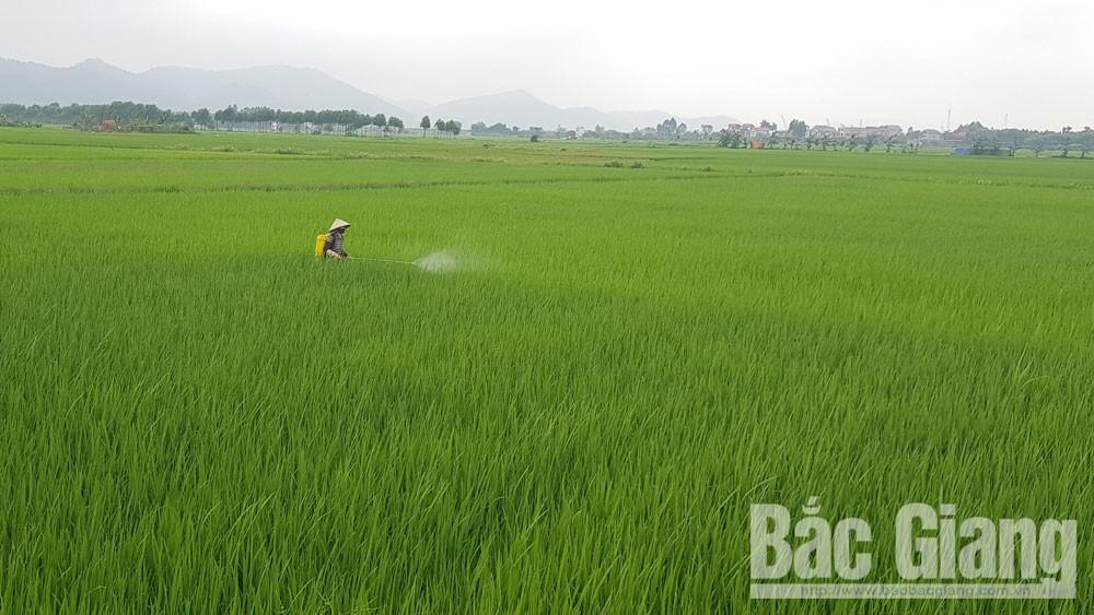 Yên Dũng tập trung phòng, trừ sâu bệnh hại lúa