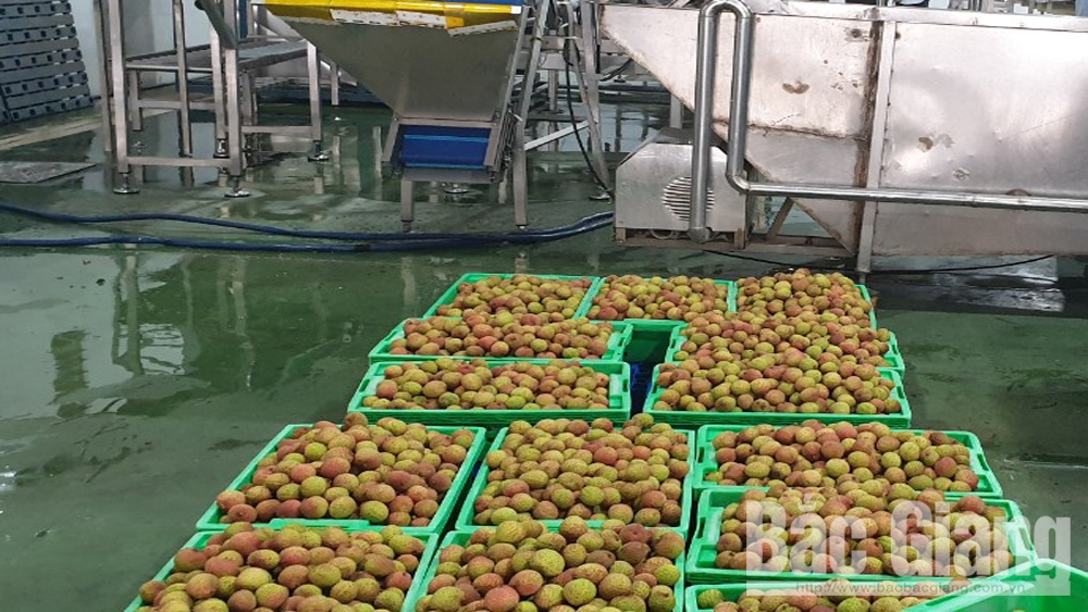 Bac Giang province, lychee steam and sterilization line, lychee preservation for export, early ripen lychee,  frozen warehouse, main harvest season