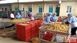 Bắc Giang: HTX khôi phục hoạt động sau dịch Covid-19