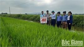 Bắc Giang: Triển vọng từ hai giống lúa mới