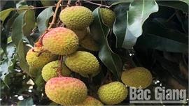 Lục Nam:  Vải thiều sớm giá 35-40 nghìn đồng/kg