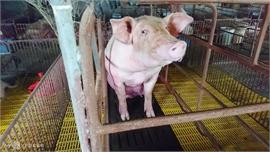 Loạn giá lợn hơi