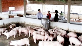 Thực hiện đồng bộ các giải pháp sớm đưa giá lợn hơi về mức 60 nghìn đồng/kg