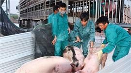 Nhập lợn giống bố mẹ để tăng đàn, tái đàn