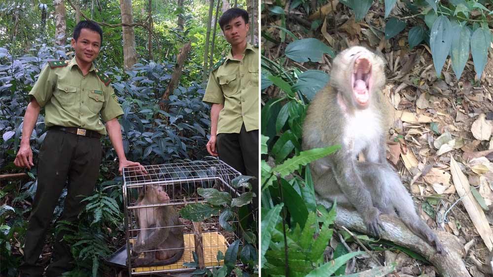 Thả cá thể khỉ đuôi dài về tự nhiên