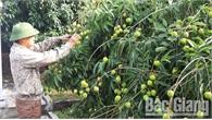 Bắc Giang: 250 thương nhân người Trung Quốc đăng ký đến Lục Ngạn thu mua vải thiều