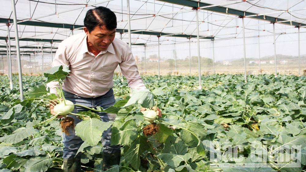 nông nghiệp, su hào, làm giàu, Bắc Giang, rau, củ,