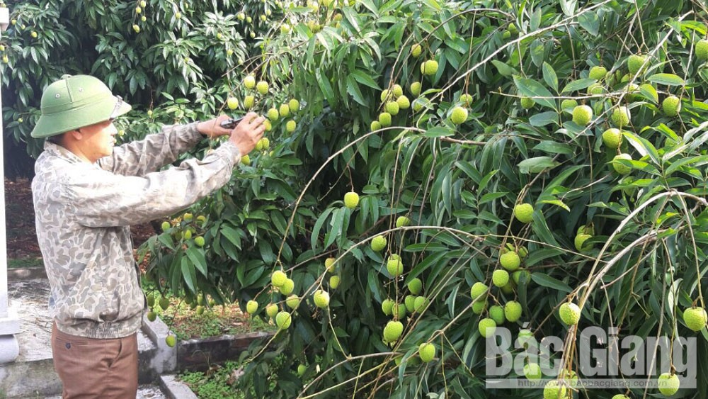 250 Chinese traders, visit Luc Ngan, buy lychee, Bac Giang province, fresh lychee consumption, distribution groups, suitable supporting method, Covid-19 pandemic