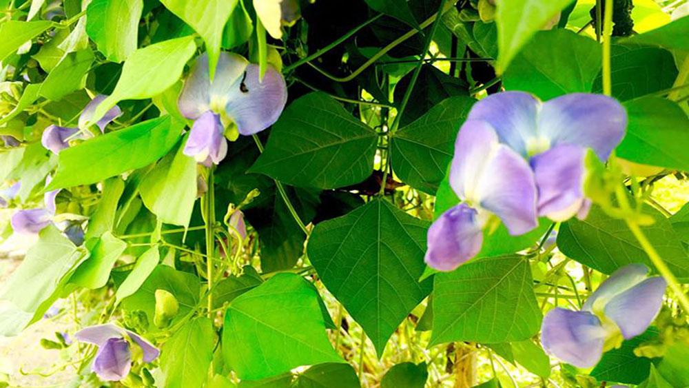 Hoa đỗ tím ngát triền sông