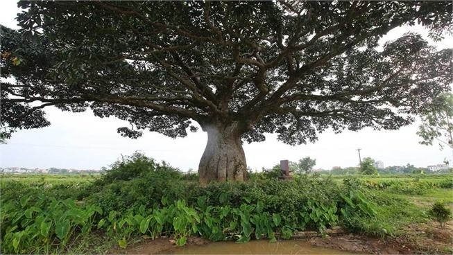 Cây trôi 'cô đơn' nghìn năm tuổi, báu vật của làng Bình Đà