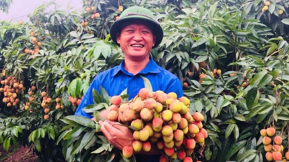 Bac Giang province, consumption of lychee, 2020 season, Covid-19 pandemic, harvest season, lychee cultivation hub, local lychee traders