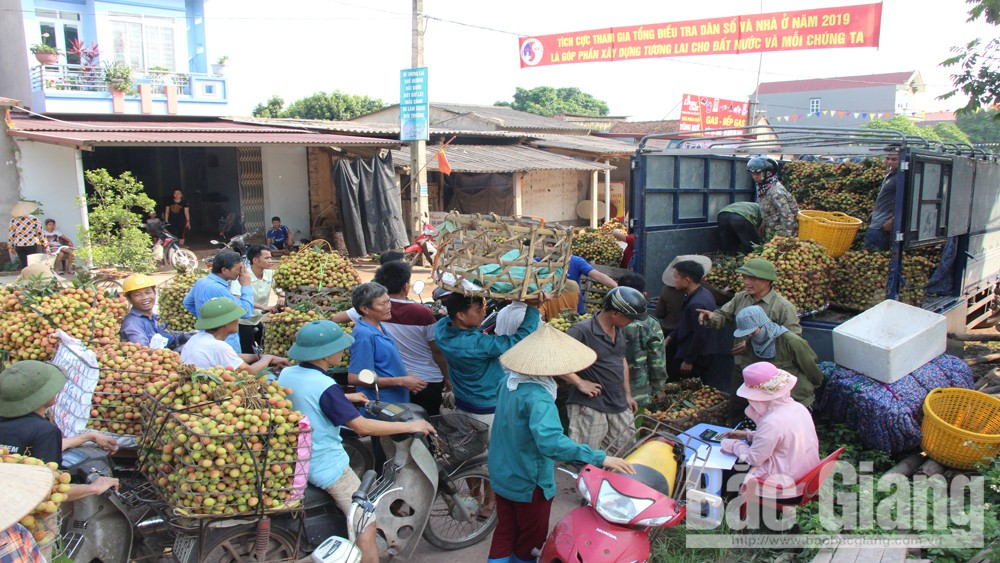 Tan Yen: Phuc Hoa early ripen lychee enjoys  good price