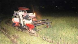 Nông dân Nghệ An thu hoạch lúa vào ban đêm để tránh nắng nóng 40 độ C