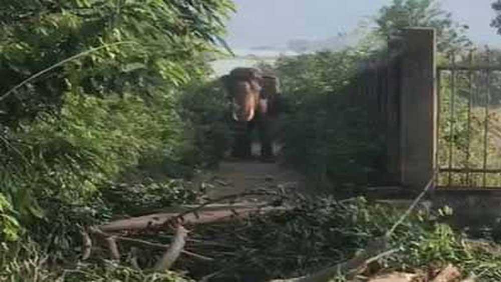 Đắk Lắk, voi nhà, quật tử vong, điều khiển voi, bị khống chế, người sở hữu nhiều voi nhất Việt Nam, ngồi lên lưng voi