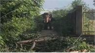 Đắk Lắk: Một người bị voi nhà quật tử vong
