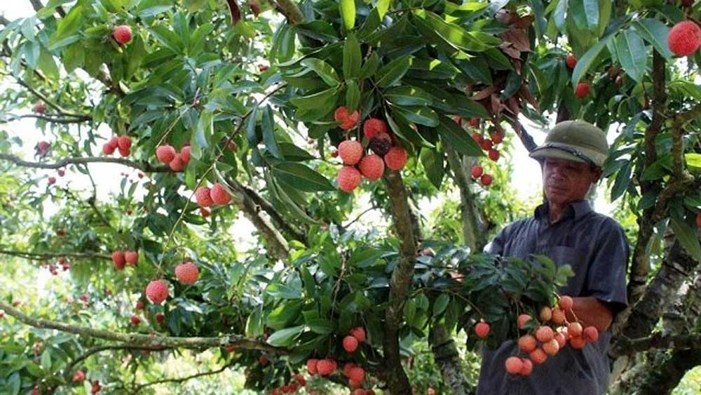 Bac Giang to host first teleconference on lychee trade promotion next month