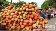 Bắc Giang: Giá vải sớm tăng cao, 35 nghìn đồng/kg