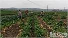 Tăng thu nhập từ trồng củ đậu