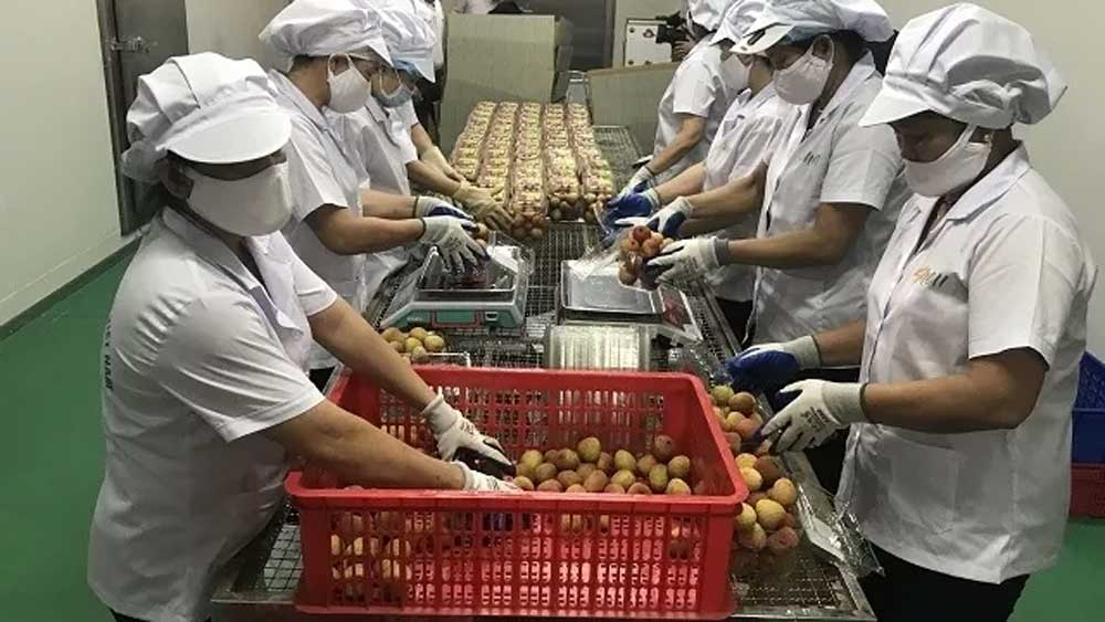 Hai Duong exports first batch of lychee in 2020 season