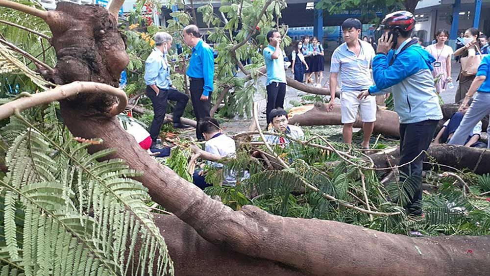 Tree falls in HCMC school, kills boy