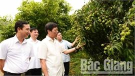 Bí thư Tỉnh ủy Bùi Văn Hải chỉ đạo: Bảo đảm chất lượng vải thiều, chuẩn bị tốt khâu tiêu thụ