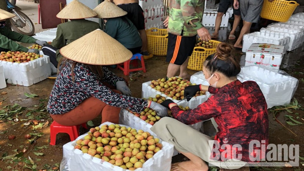 Phuc Hoa, early-ripening lychees, improved quality, favourable sale, Bac Giang province, harvest season, favourable weather, VietGAP farming process, domestic market