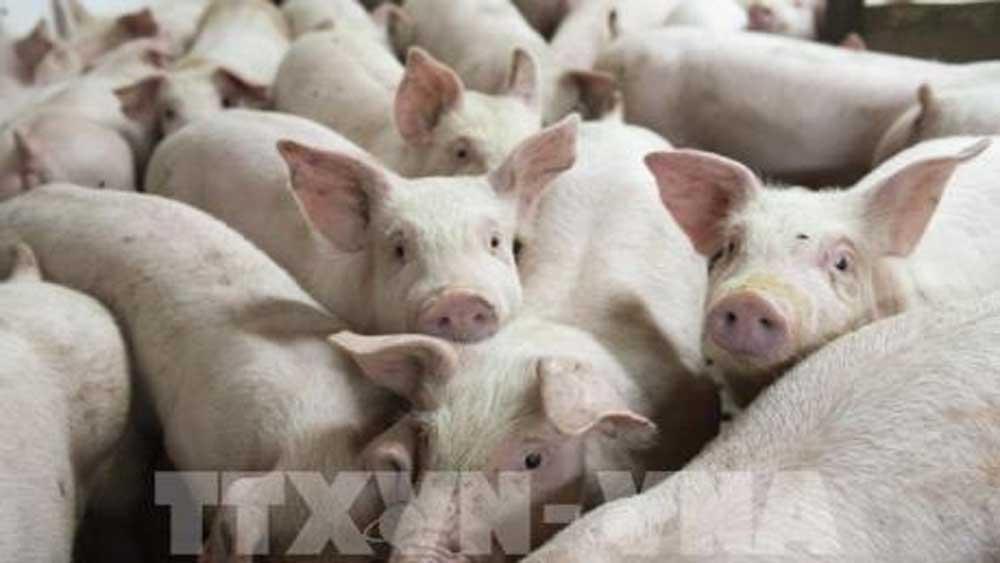 Sẽ nhập khẩu lợn sống để hạ giá lợn hơi trong nước.
