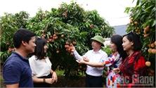 Vải thiều Lục Ngạn đang tiêu thụ thuận lợi, giá bán cao, trung bình từ 30-35 nghìn đồng/kg