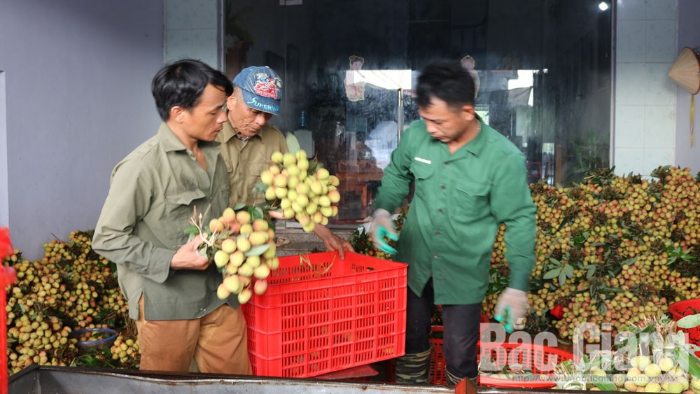 Bac Giang province, promotes trade, expands markets for lychee, Bac Giang lychee, lychee consumption, Covid-19 pandemic, great impact, goods circulation